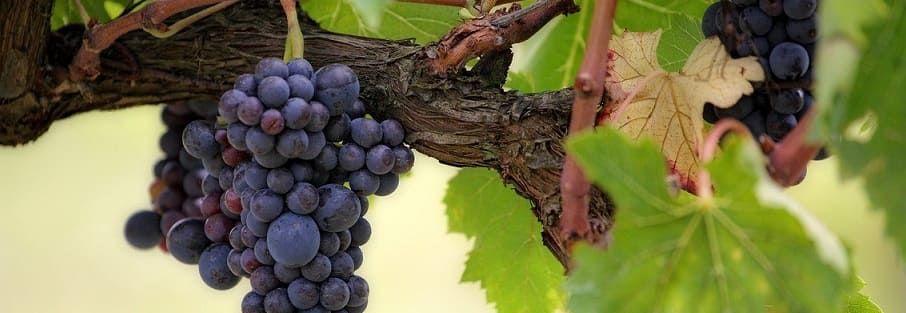 cultiver raisin