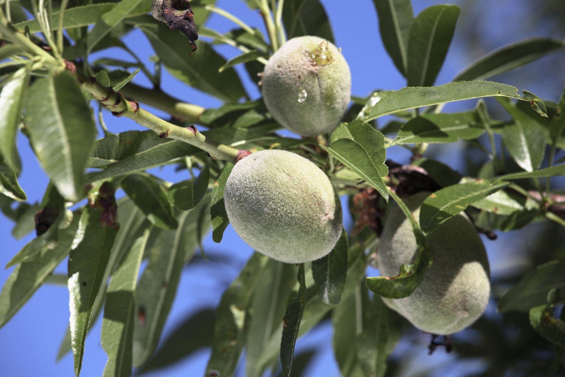 Arbre Fruitier En Pot Interieur comment planter, tailler et entretenir un amandier ?