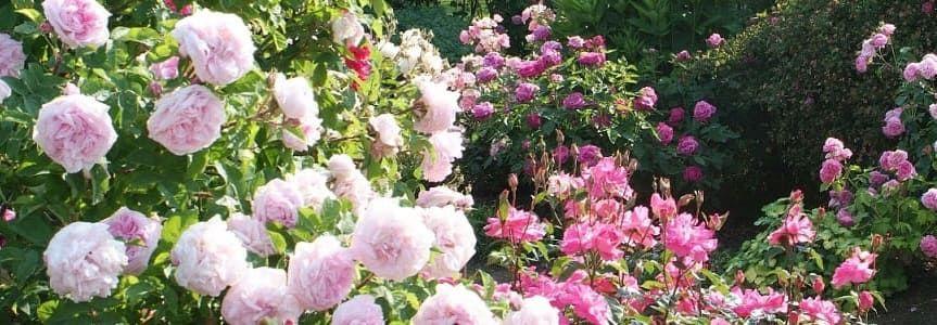 entretien roses