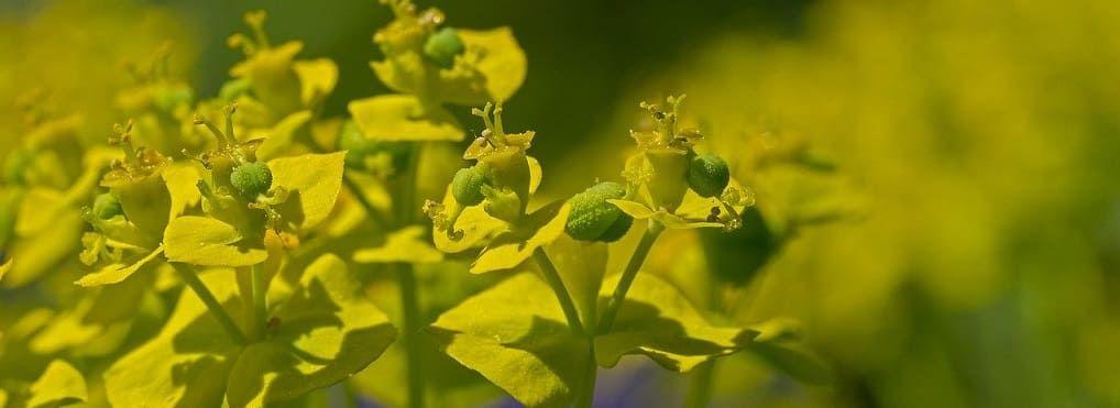 euphorbe floraison