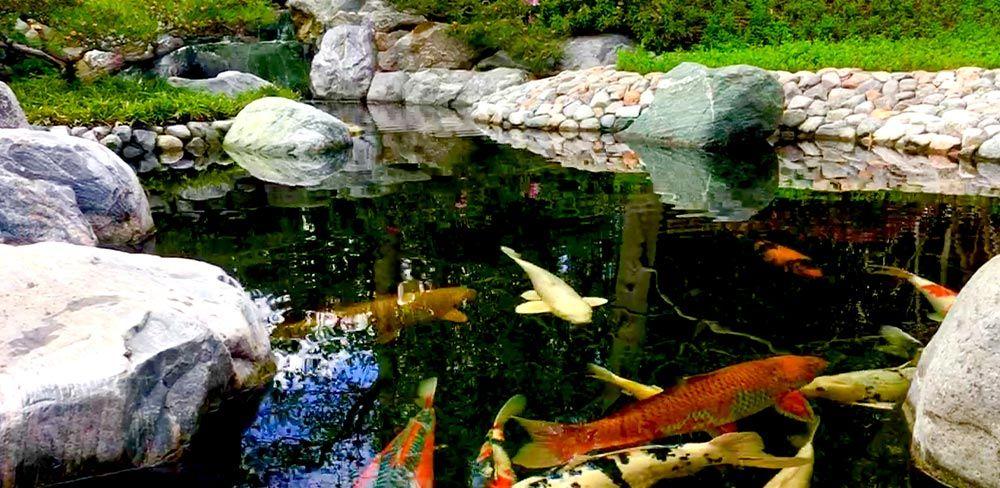 Quels poissons pour un bassin de jardin ?