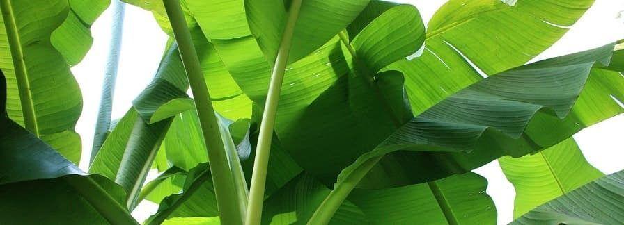 feuilles bananier