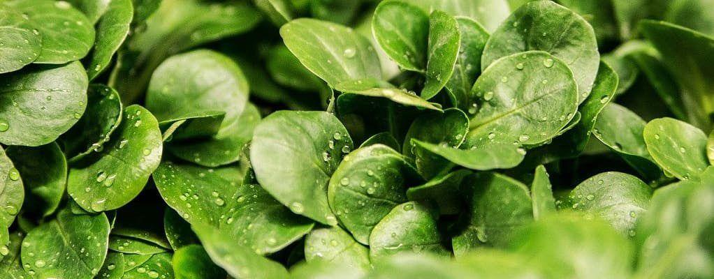 feuilles de mâche