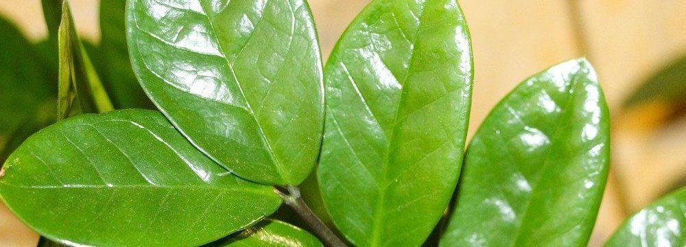 feuilles plante zz