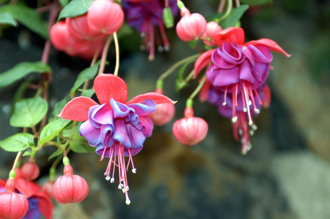 Fuchsia plantation et entretien