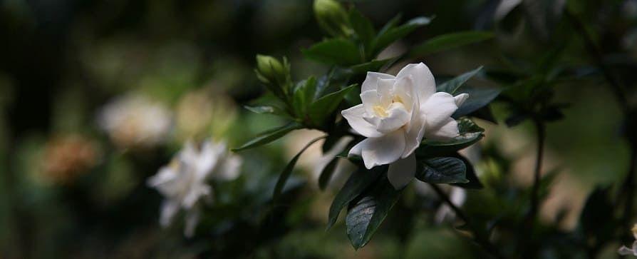 gardenia jardin