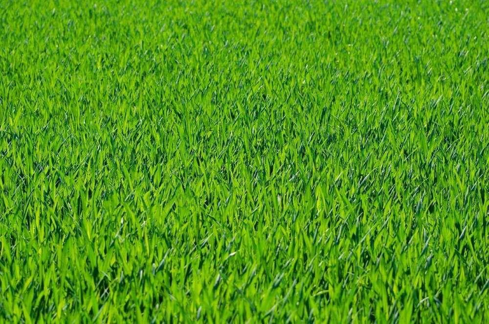 gazon vert