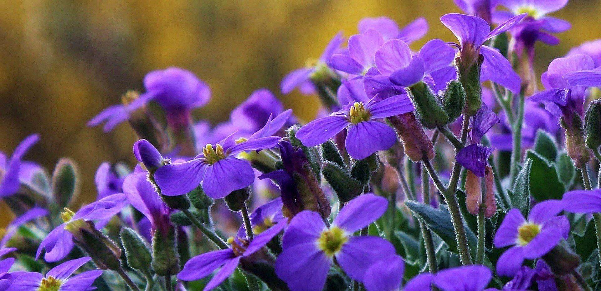 Quelles Fleurs Planter Fin Aout plantation et entretien du géranium (ou pélargonium)