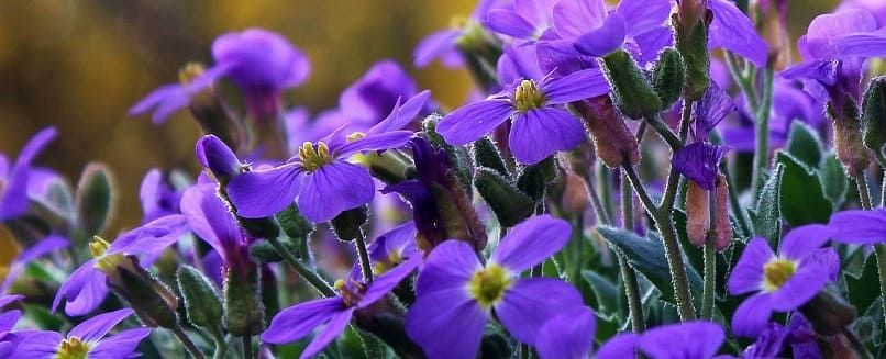 géranium fleurs