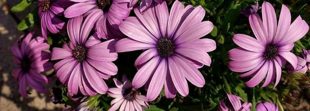 gerbera fleurs varietes