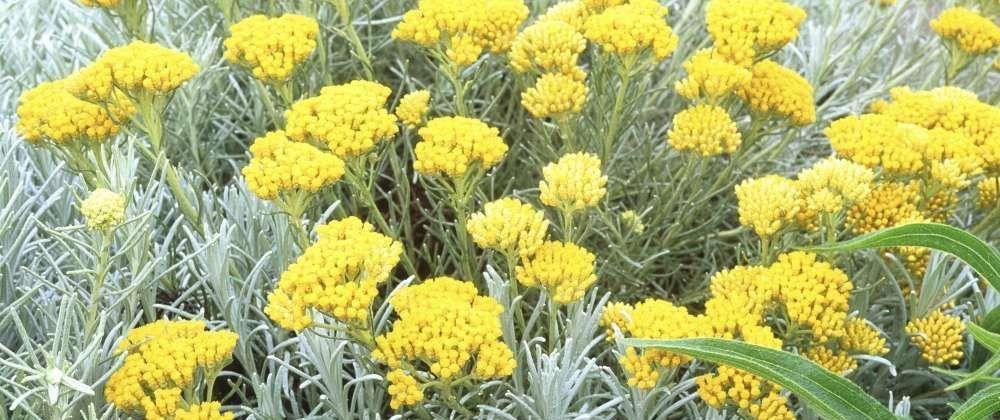 plantation helichrysum