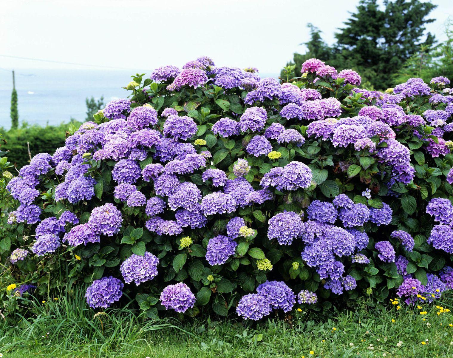 plantation hortensia