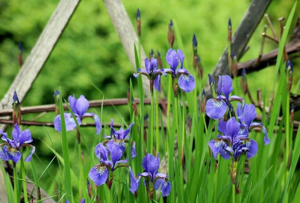 entretien iris