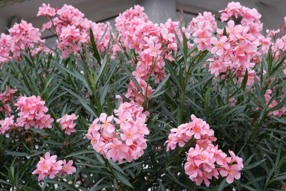 plantation laurier rose