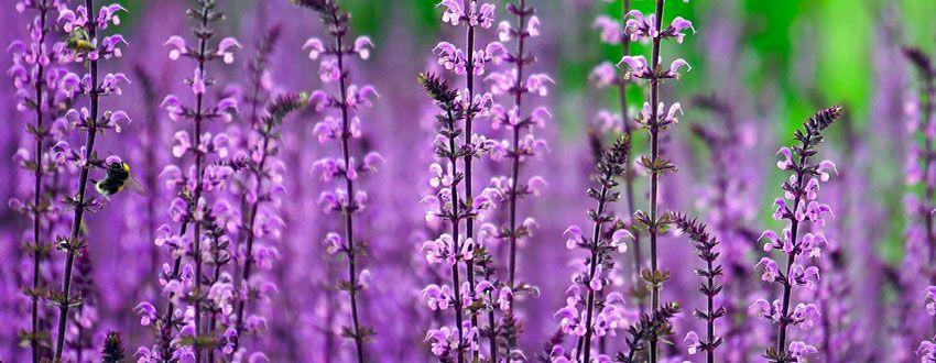 champ de lilas
