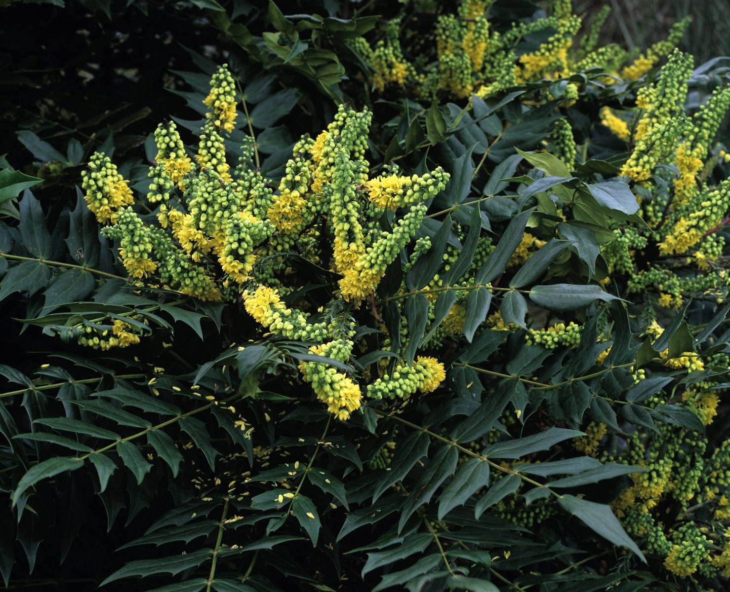 Arbuste Persistant En Pot Plein Soleil mahonia : variétés, plantation et entretien