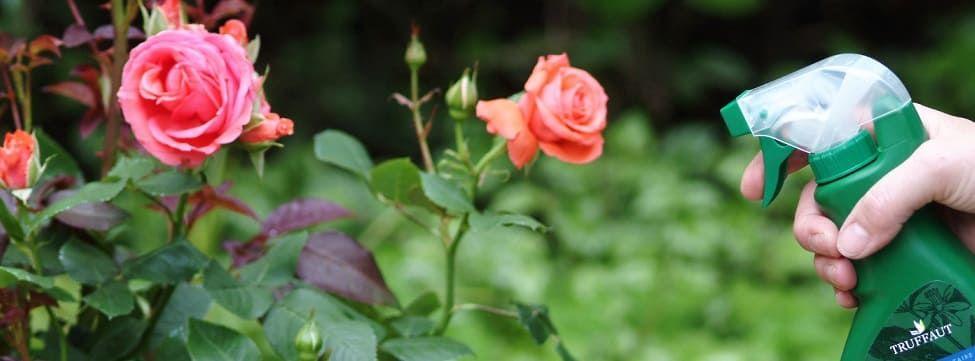 traitement rosiers
