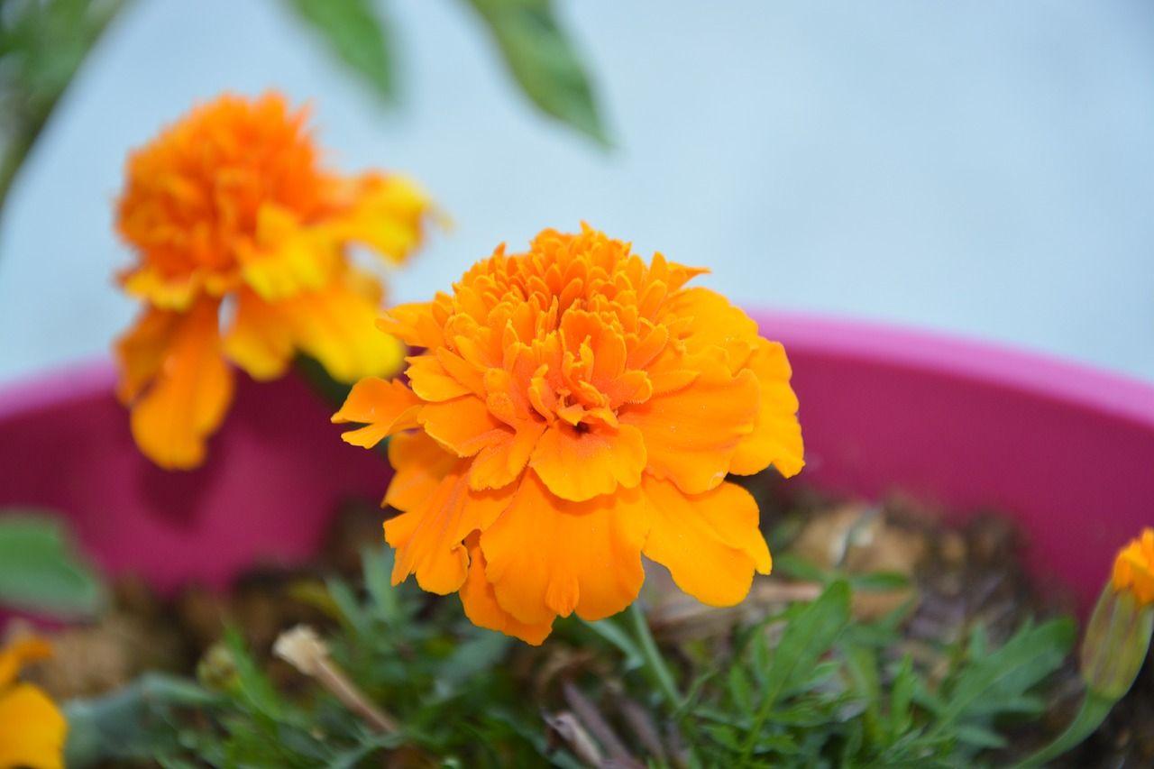 Comment Planter Du Muguet comment cultiver l'œillet d'inde (ou tagète) ?