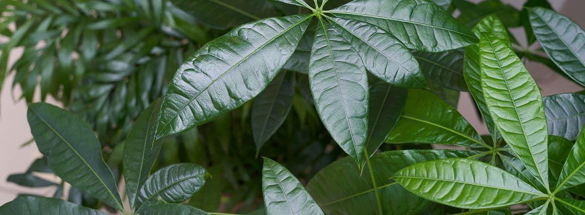 pachira feuilles