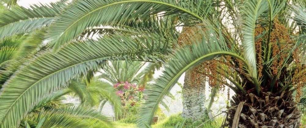 variétés palmier exterieur