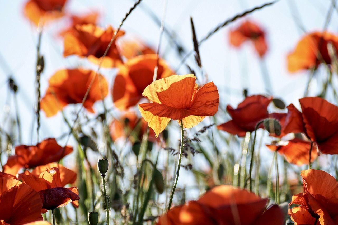 Planter Des Coquelicots Dans Son Jardin pavot : variétés, plantation et entretien
