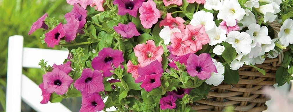 fleurs pétunias