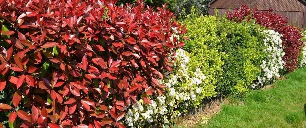 arbuste photinia