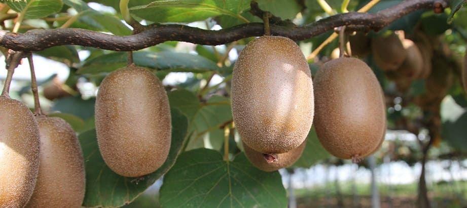 arbre kiwis