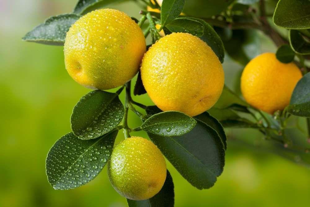 entretien citronnier