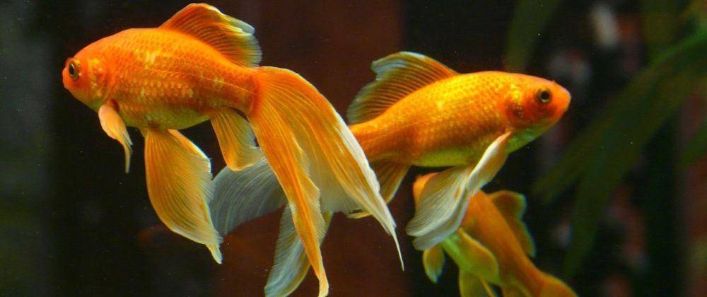 poissons japonais