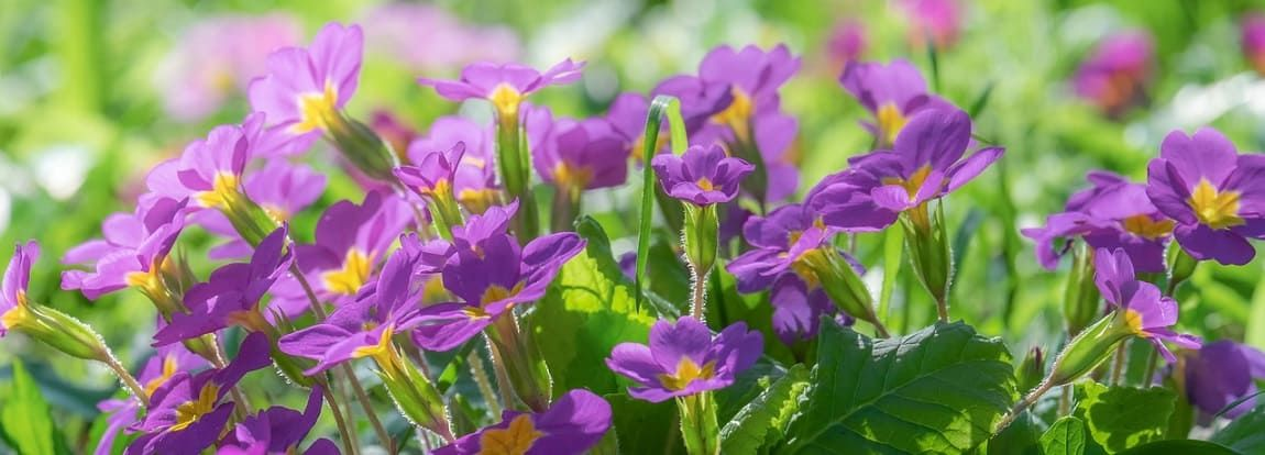 primevères violets
