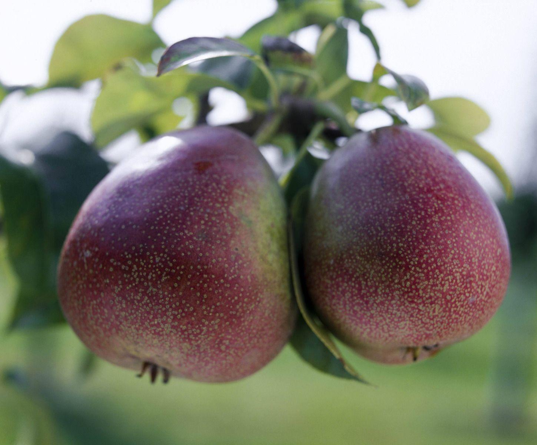 Arbre Fruitier En Pot Interieur quelles variétés de poiriers choisir ?