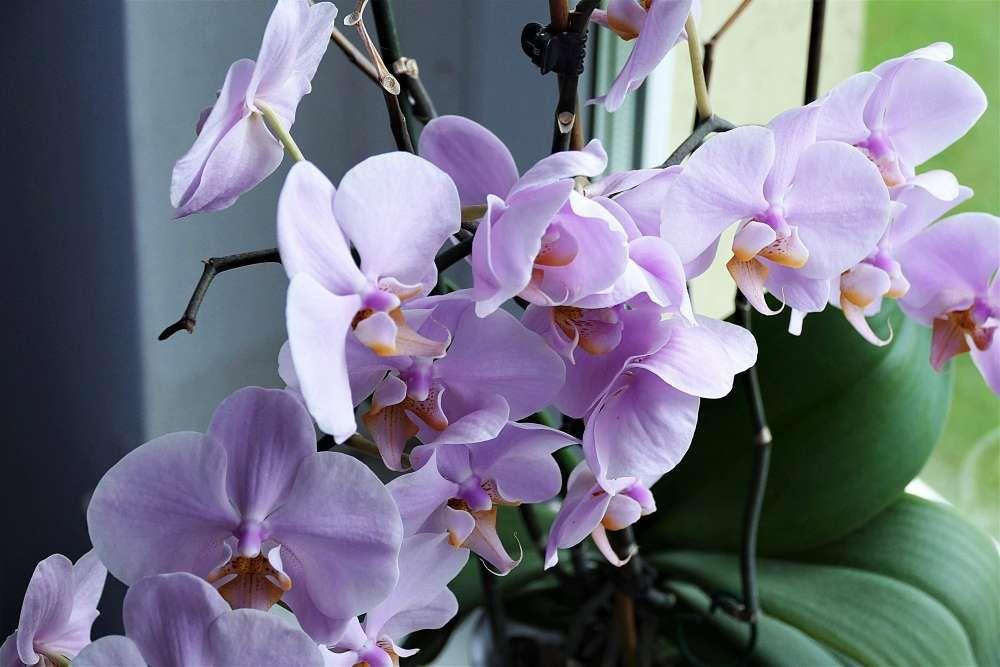 refleurir ses orchidées