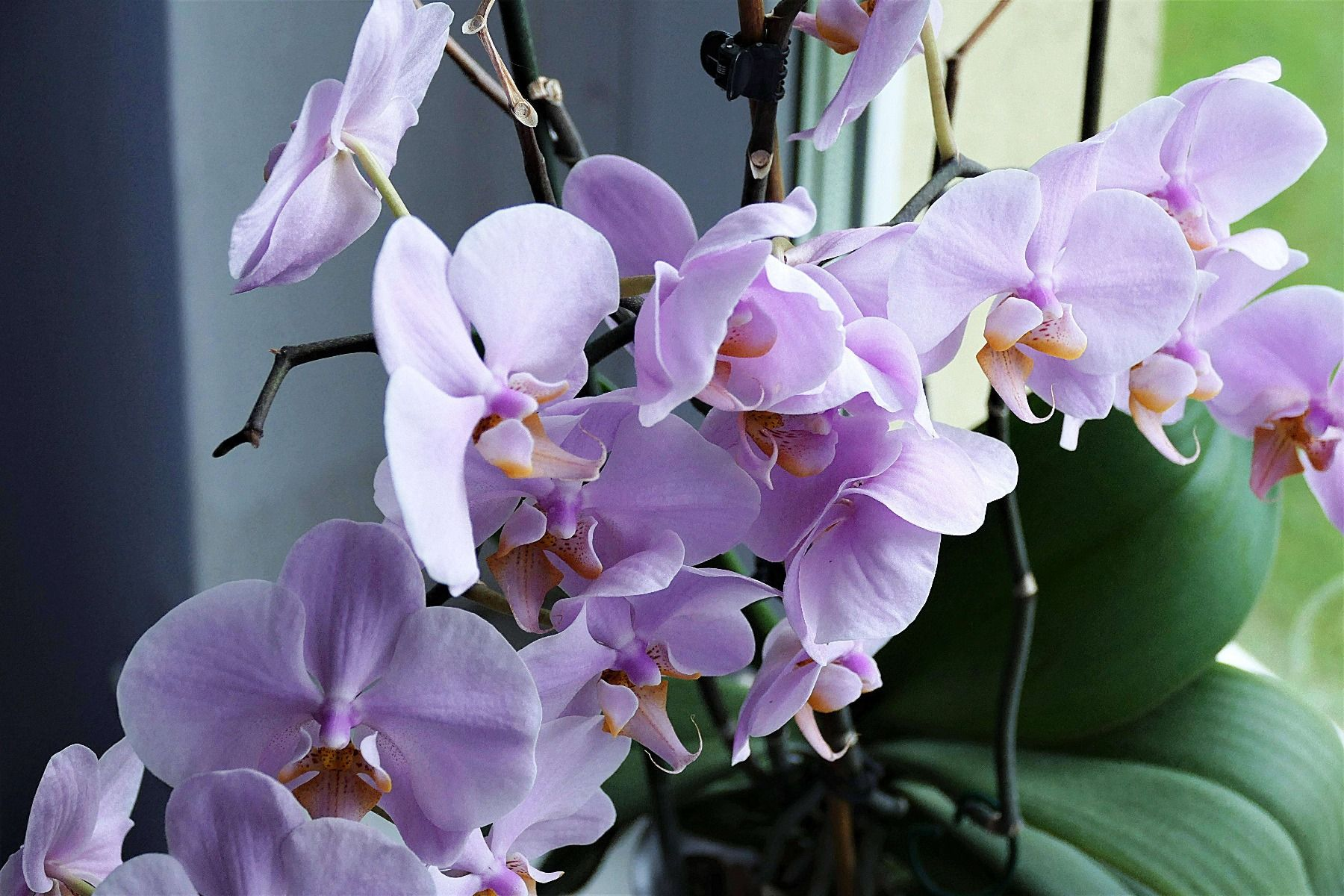 variete orchidee