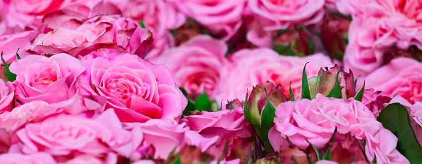 Rosiers Roses