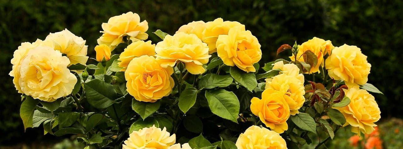 rosier jaune