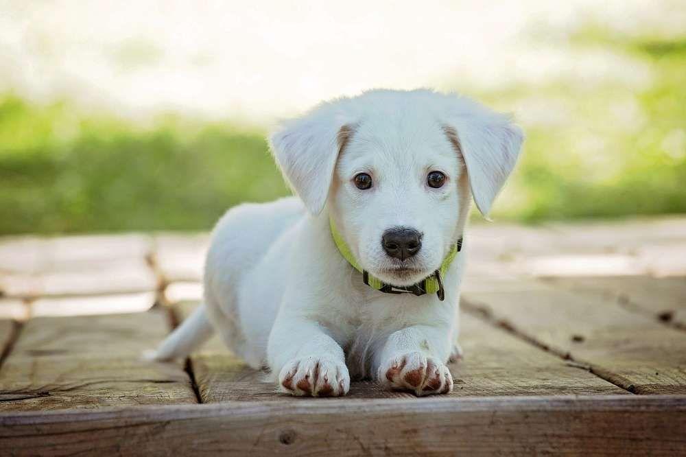 sterilisation chien