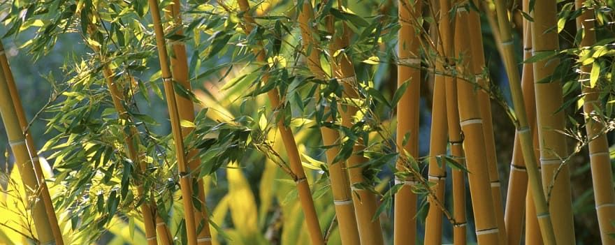 conseils bambous