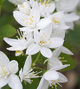 Deutzia blanc