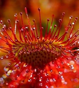 plante drosera