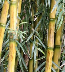 Comment entretenir vos bambous ?