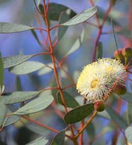 Eucalyptus entretien