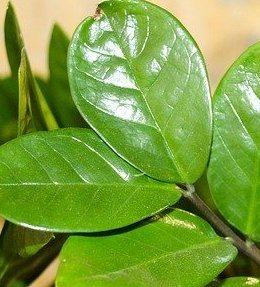 feuilles zamioculcas