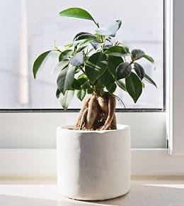 bonsai ficus en pot