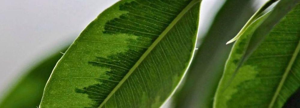ficus varietes plantation