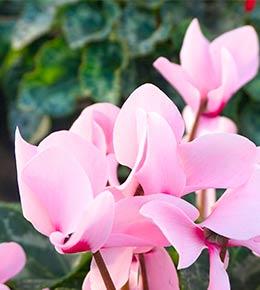 Cyclamen d'intérieur rose