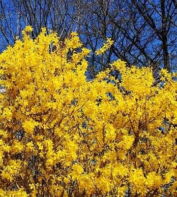 arbre forsythia