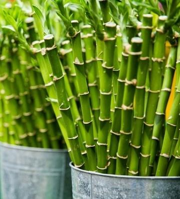 haie de bambou en pot