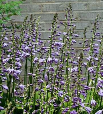fleurs hostas