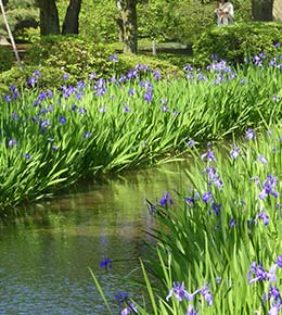 Iris eau